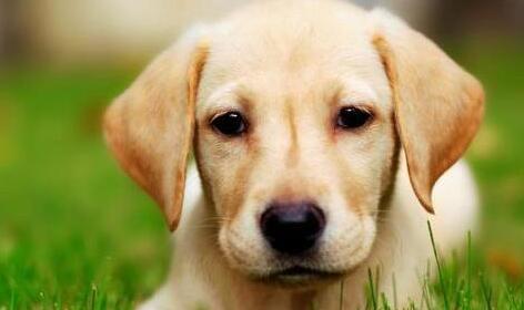 怎么帮拉布拉多犬美容?美容需注意什么事项?